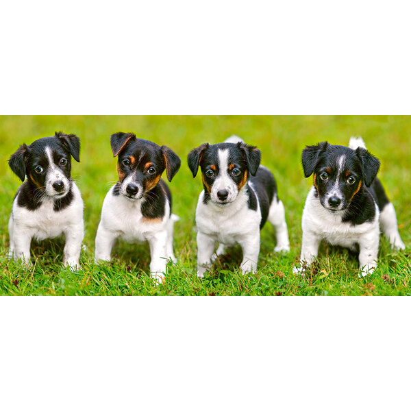Jack Russell Terrier Chiots Puzzle 600 pièces